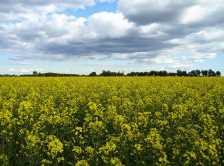 Flower Fields in Winnipeg (Photo by: Shahnoor Habib Munmun - Wikimedia Commons)